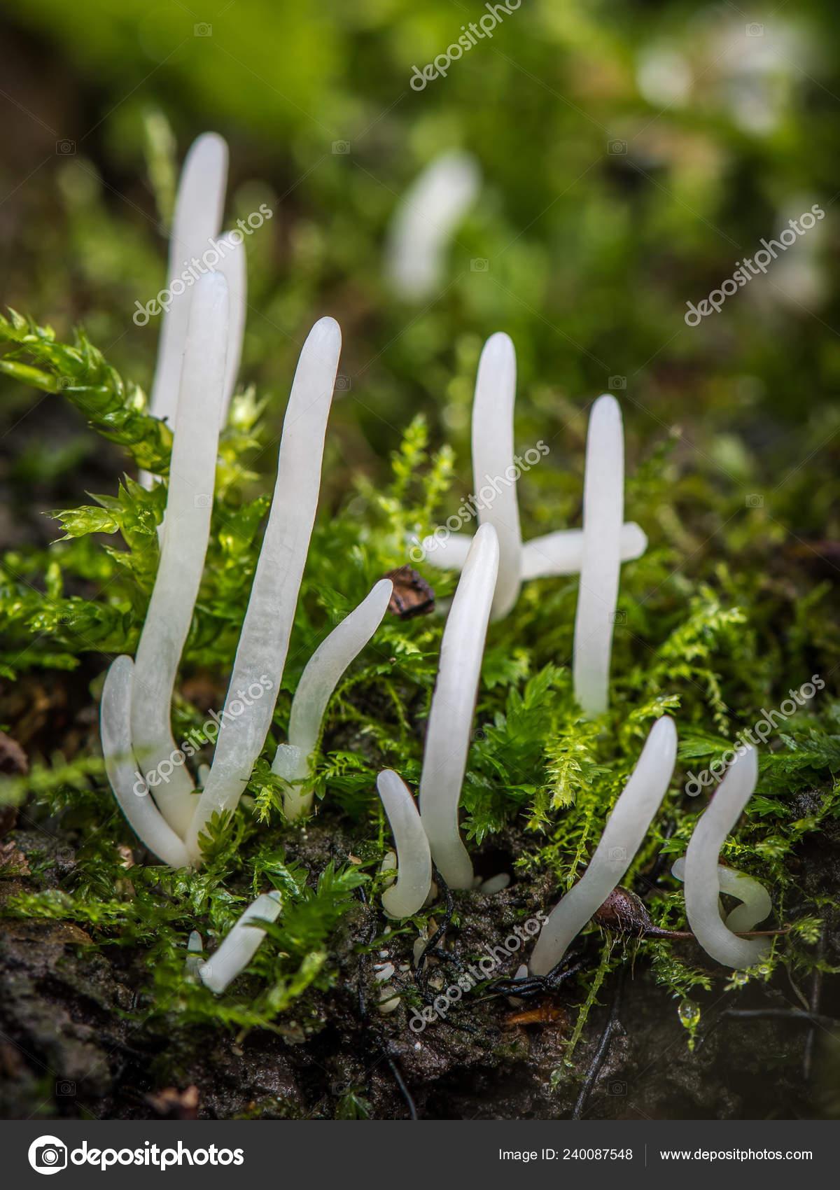 Hdr Photo White Fungus Clavaria Falcata — Stock Photo