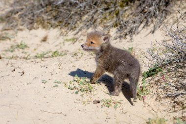 Little furry fox-cub standing on dry ground