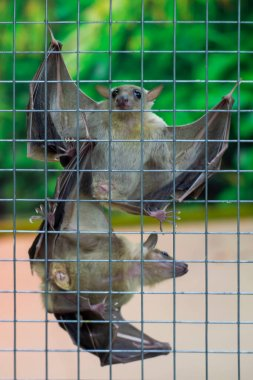 Two bats on the grill fence. Against the backdrop of green vegetation. View from the front. Vertical shot.