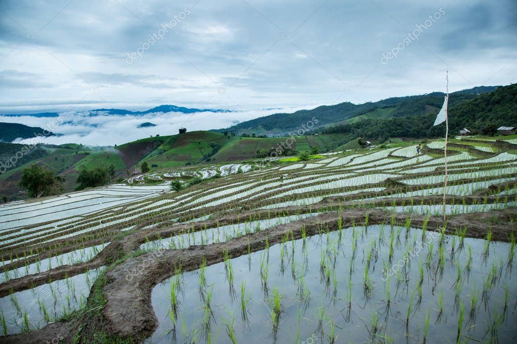 Rice paddy terrace traditional agriculture in rainy season in Cheing Mai, Northern Thailand.