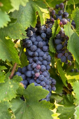 Bunch of plump ripe red grapes on vines in a vineyard near harvest time