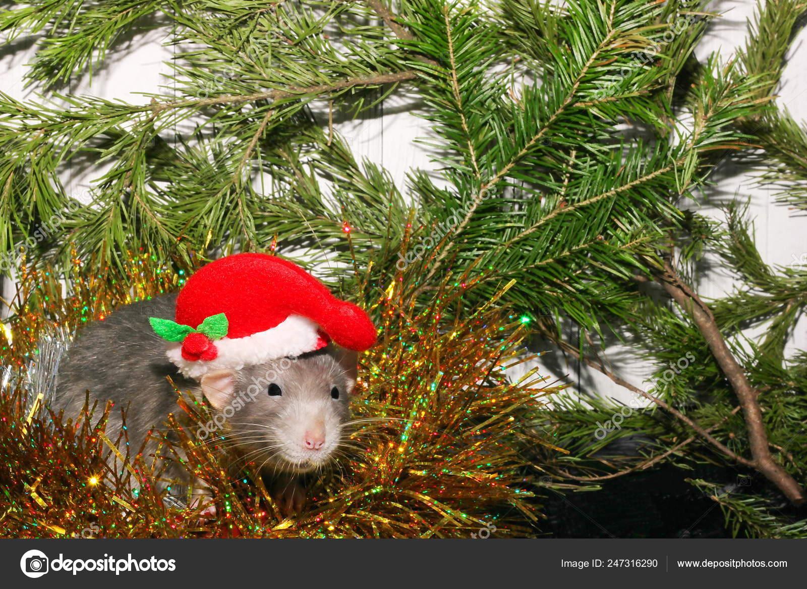 Calendario Cinese 2020.Ratto Grigio Di Natale Sullo Sfondo Di Un Albero Di Natale