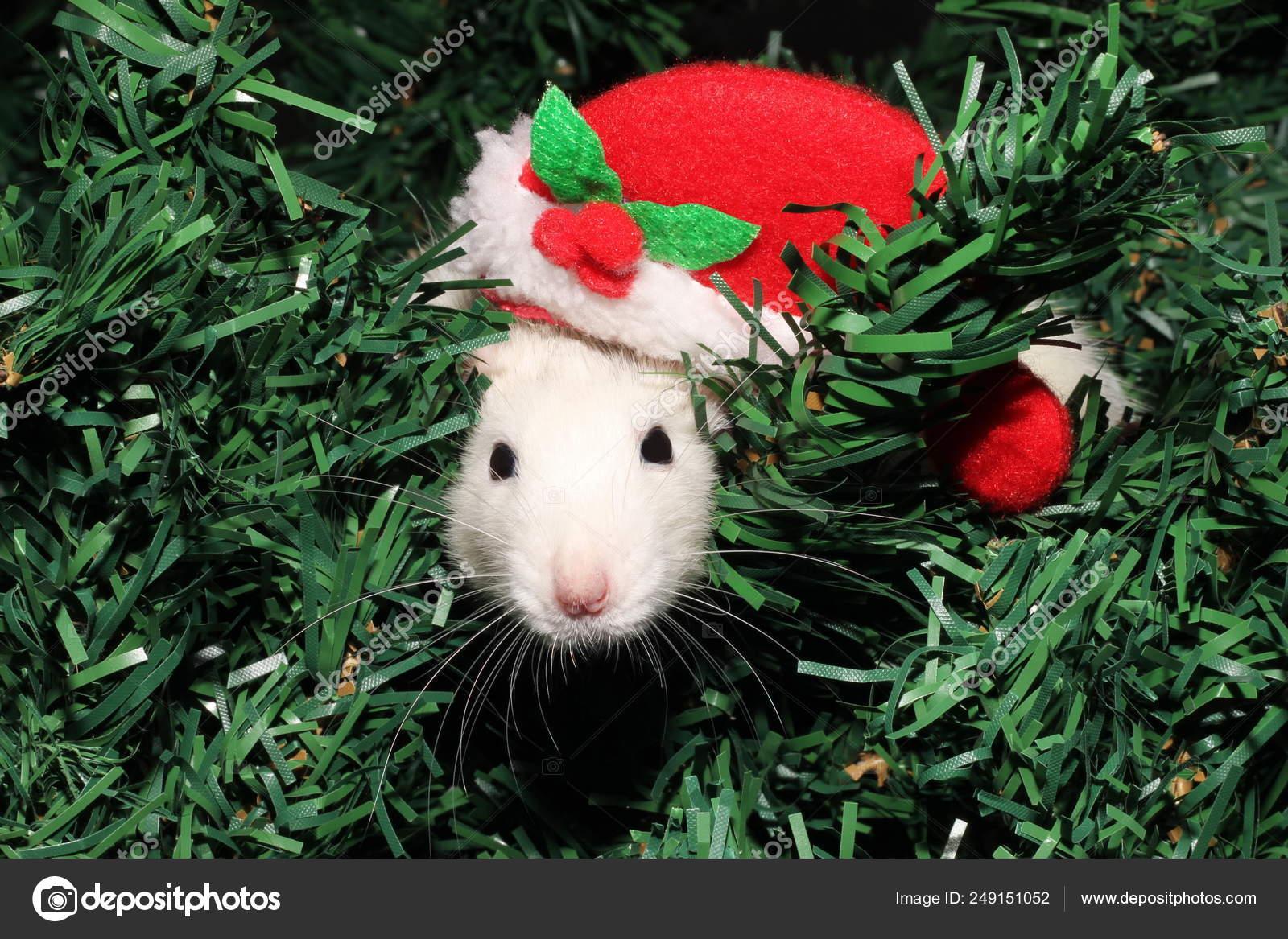 2020 Calendario Cinese.Un Topo In Un Cappello Di Natale Un Mouse Di Natale