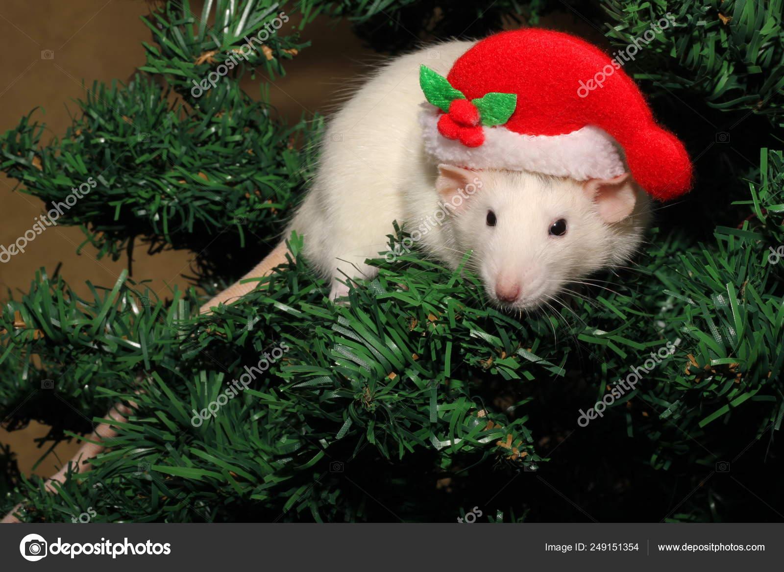 Calendario Cinese 2020.Un Topo In Un Cappello Di Natale Un Mouse Di Natale