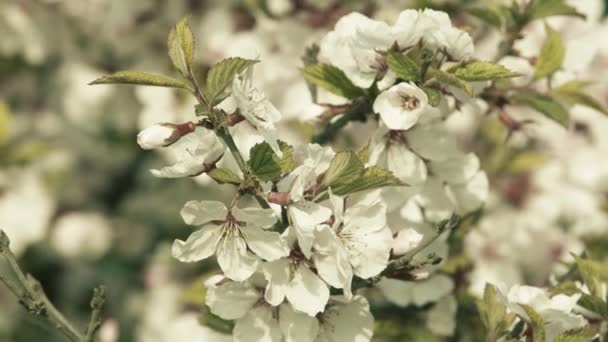 Spring. Blooming apple tree closeup. White flowers on the tree