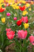 kilátás a tulipán virága kívül