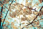 Třešeň květ květiny na jaře