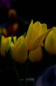kertben virágzó tulipán