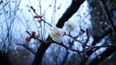 den na jarní zahrádce s broskvovými pupeny