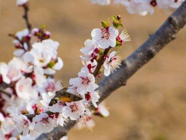 """Картина, постер, плакат, фотообои """"Крупным планом выстрел красивых цветущих цветов на фруктовом дереве"""", артикул 283709962"""