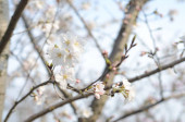 blízko kvetoucích květů jablečných stromů