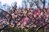 růžová sakura na jaře, kvetoucí květiny