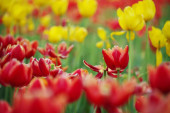 gyönyörű tulipán virágok a parkban