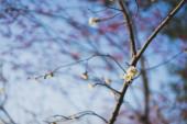 Třešňové květy na jaře