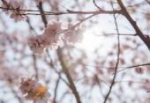 Krásné Třešňové květy na jaře