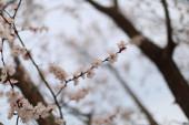 Nádherné třešňové květiny kvetou na jaře