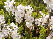 Krásný kvetoucí ovocný strom, zblízka pohled