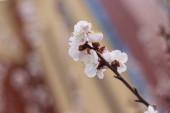 Třešňový květ na jaře