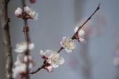 jaro s květy broskvových květů