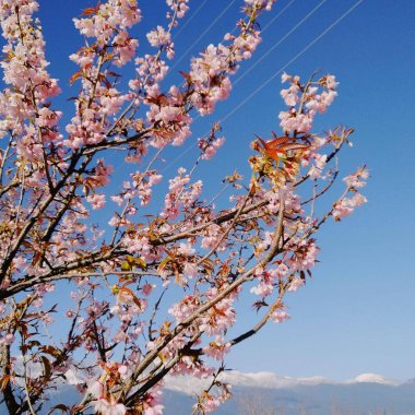 "Картина, постер, плакат, фотообои ""Вишня цветет весной в дневное время"", артикул 285670938"