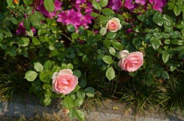 Closeup of beautiful blossoming rose flowers