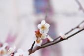 třešňové květy květy na jaře