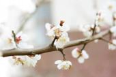 Květ bílého třešňového stromu