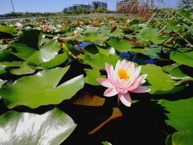 view of lotus flower in pond