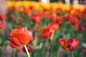 tavaszi tulipán virágok virágos