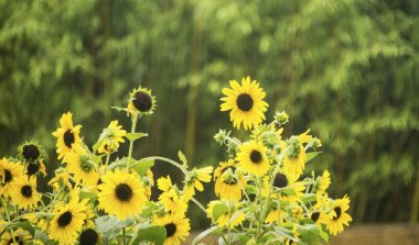 Sunflowers blooming in field at day time