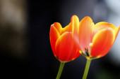gyönyörű tulipán virágok szirmok, növény és természet
