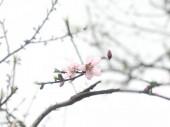růžové sakura květiny na jaře