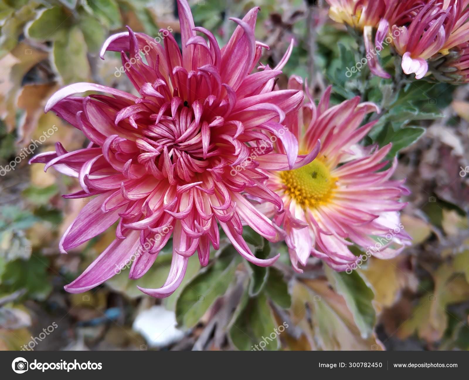 Flor Dahlia Rosa Jardim Stock Photo C Imaginechina Tuchong 300782450