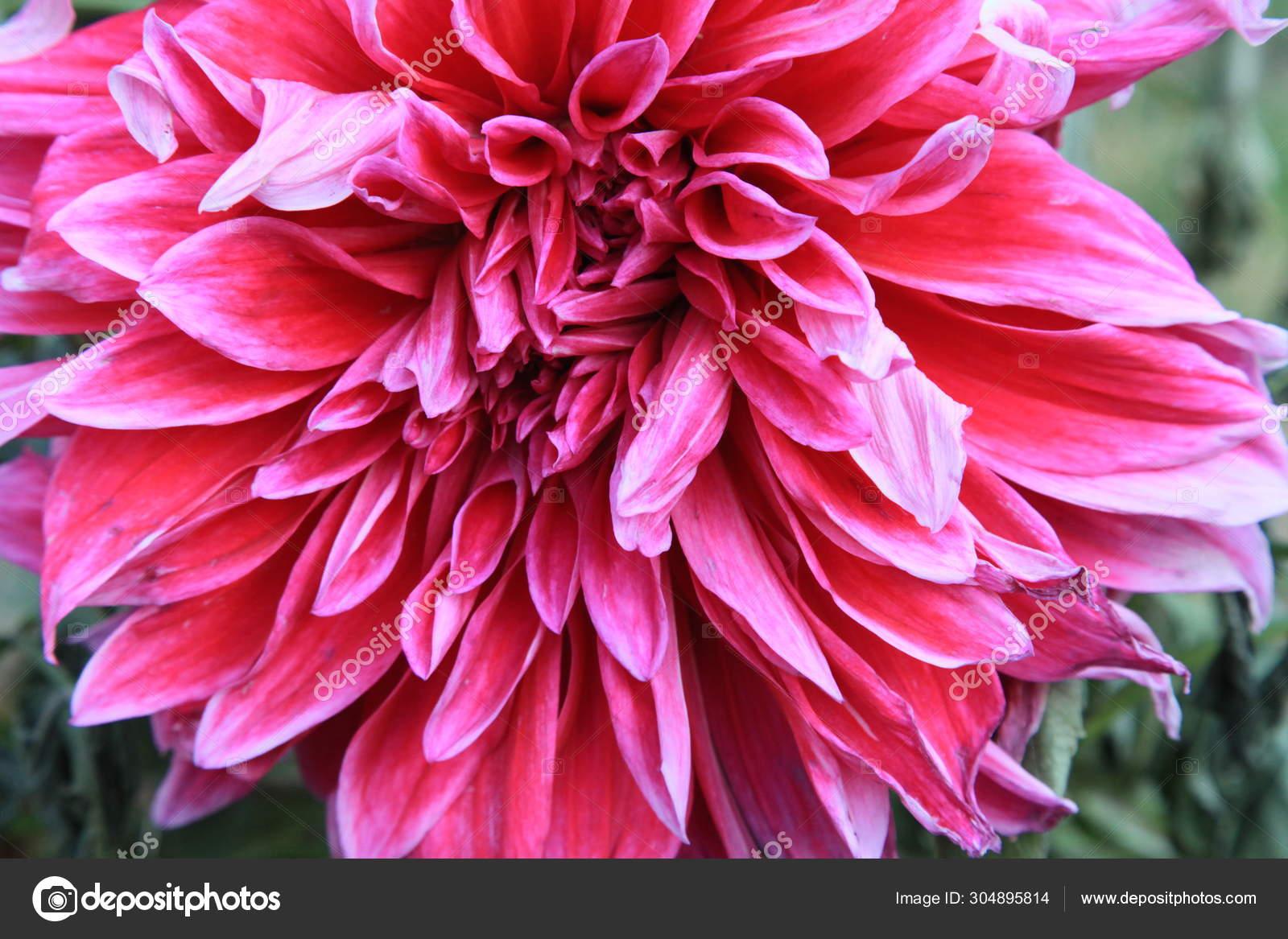 Flor Dahlia Jardim Stock Photo C Imaginechina Tuchong 304895814