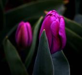 tulipán virágok szirmok, természet