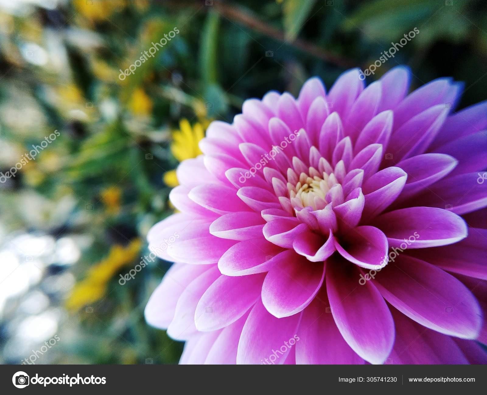 Dahlia Rosa Flor Jardim Stock Photo C Imaginechina Tuchong 305741230