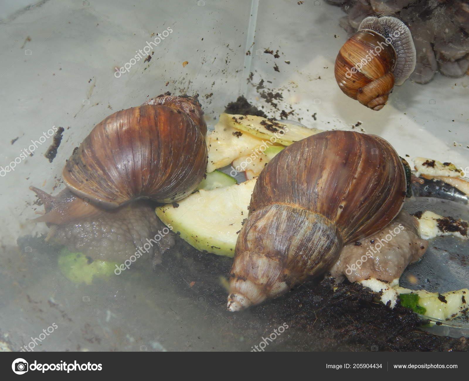 Breeding Large Snails Terrarium House Stock Photo Image By C Apxipro Gmail Com 205904434