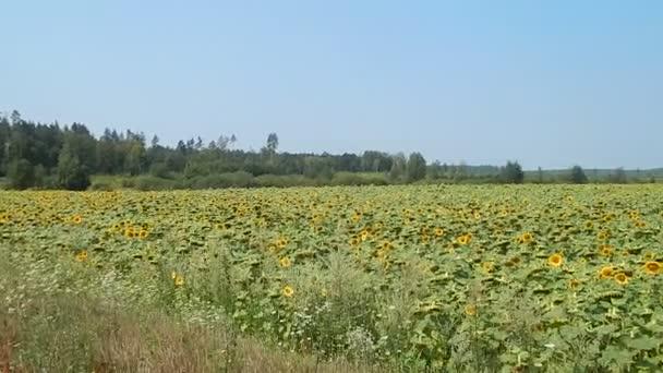 Pěstování na poli plodiny slunečnice