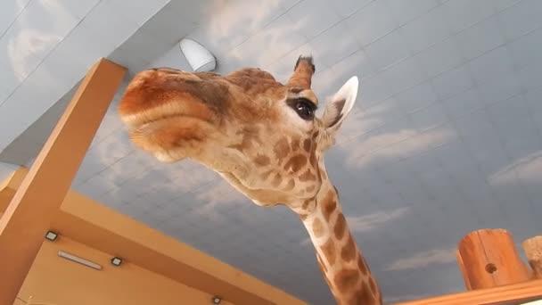 Vnitřní hlava a nohy podrobnosti žirafa