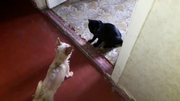 Chihuahua kutya játszik egy fekete macska