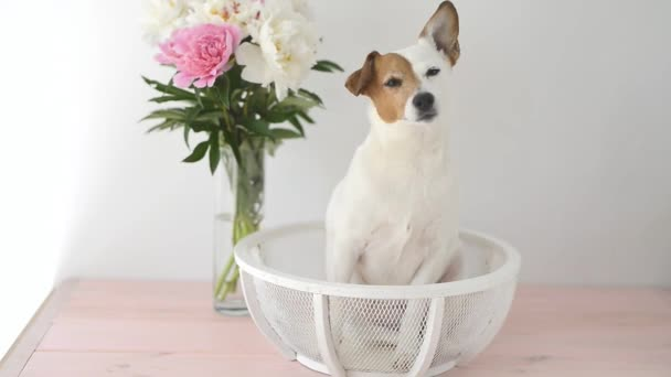 Jack Russell Terrier dog with peonies sitting on a white background