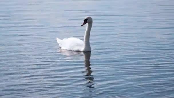 Két fehér hattyú úszik egy tiszta tóban. Egy pár gyönyörű vad madár úszik a folyóban, egy víztározó vad fehér hattyúknak..