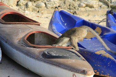 Curious monkey thief stuck her head in a boat for kayaking