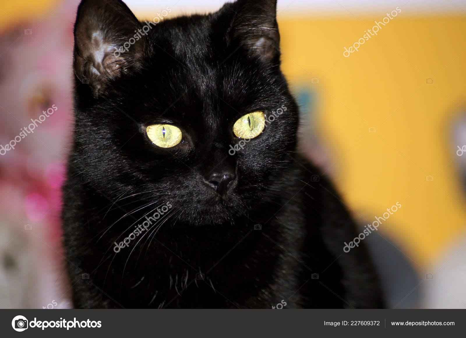 velká černá kočička domácí