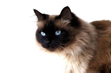 The Blue Eyes Of a Burma Cat