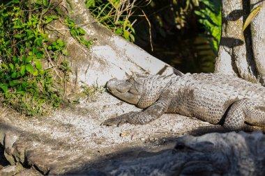 """Картина, постер, плакат, фотообои """"американский аллигатор в болотах флориды. национальный парк эверглейдс. флорида. сша . постеры картины модульные фотографии графика"""", артикул 250052308"""