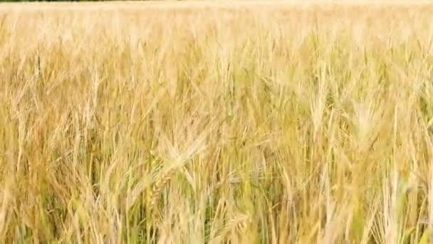 Mező gyönyörű nyári arany rozs árpa és búza zöld ipar. árpa tüskék ringatóznak a szélben. betakarítási idő