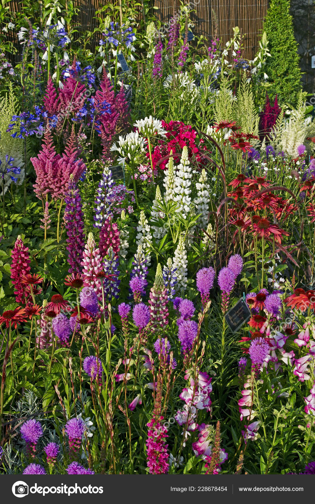 Pink And Purple Border Garden Plan Colourful Display Flowering Border Plants Country Garden Stock Photo C Gardenguru 228678454