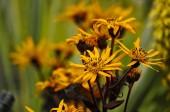 Photo Close up of flowering Ligularia Britt-Marie Crawford