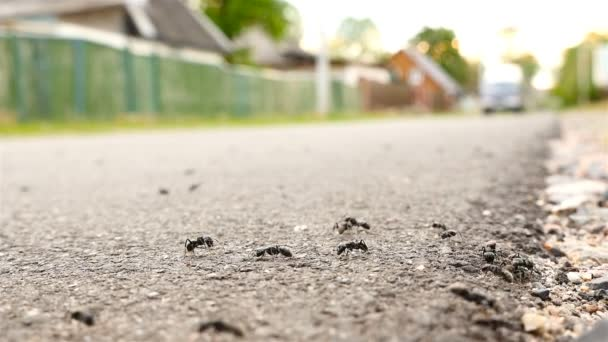 A large number of ants on the road. The car is passing by. Slow motion. Macro